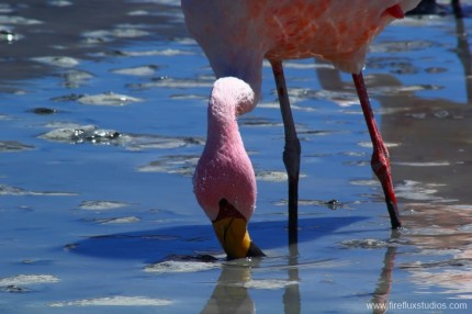 Feeding Flamingo